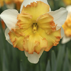 daffodilsnarcissus