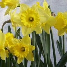 Image of Daffodil Dutch Master