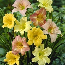 Image of Daylily Miniature Mix