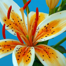 Image of Asiatic Lily Orange Electric