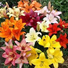Image of Lily Asiatic Mixed