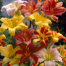 Image of Daylily Large Mixed