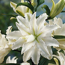 Image of Oriental Lily Polar Star