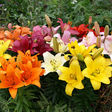Image of Asiatic Lily Dwarf Mixed