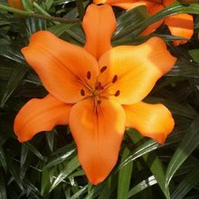 Image of Asiatic Lily Brunello