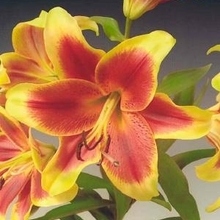 Image of Oriental Hybrid Lily Red Dutch
