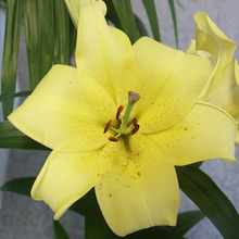 Image of Oriental Hybrid Lily Early Yellow