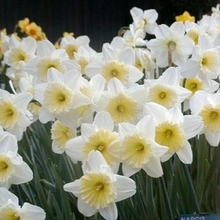 Image of Narcissi Ice Follies