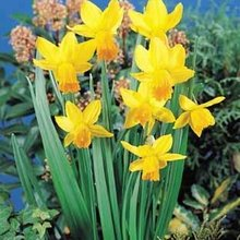Image of Narcissi Jetfire