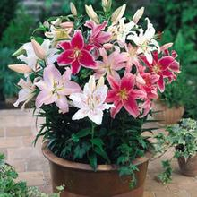 Image of Oriental Lily Dwarf Mix