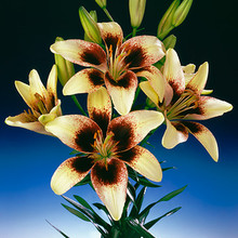 Image of Tango Asiatic Lily Black Spider