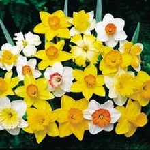 Image of Daffodil All Star Mixed (Harliquin Mix)