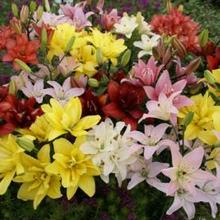 Image of Double Asiatic Lily Mix