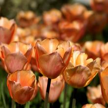Image of Apricot Foxx