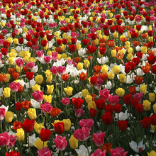 Image of Tulip Triumph Mixed