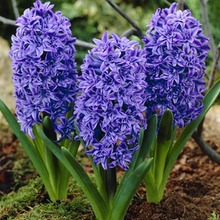 Image of Double Hyacinths Chrystal Palace