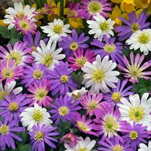 Image of Anemones blanda Mixed