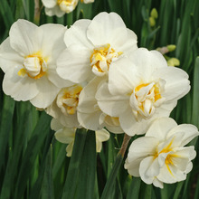 Image of Narcissi Cheerfulness