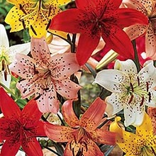 Image of Tiger Lily Mix