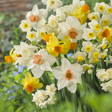Image of Daffodil Double Mix
