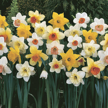 Image of Daffodil Large Cup Mix
