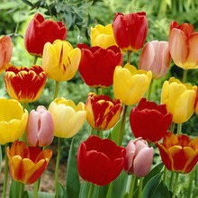 Image of Darwin Hybrid Tulips Mixed