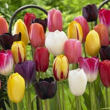 Image of Tulip Single Late Mixed