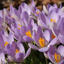Image of Barr's Purple (tommasinianus)