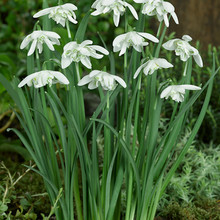 Image of Galanthus Flore Pleno